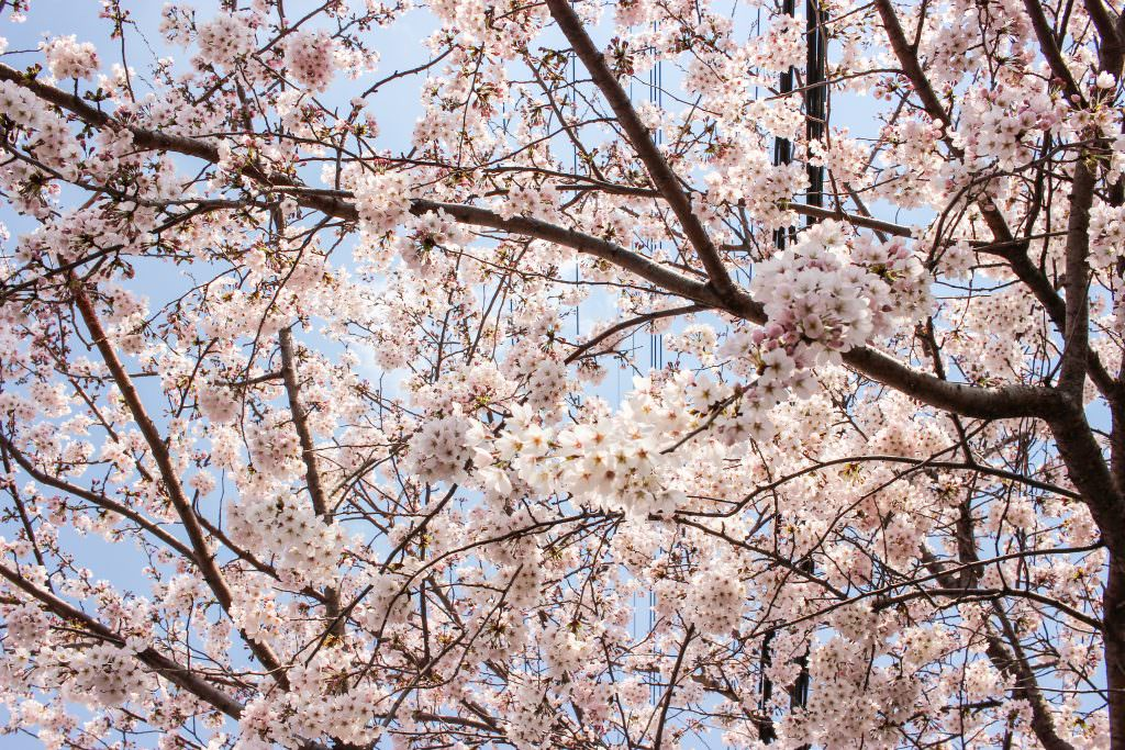 Cherry blossom in Jinhae