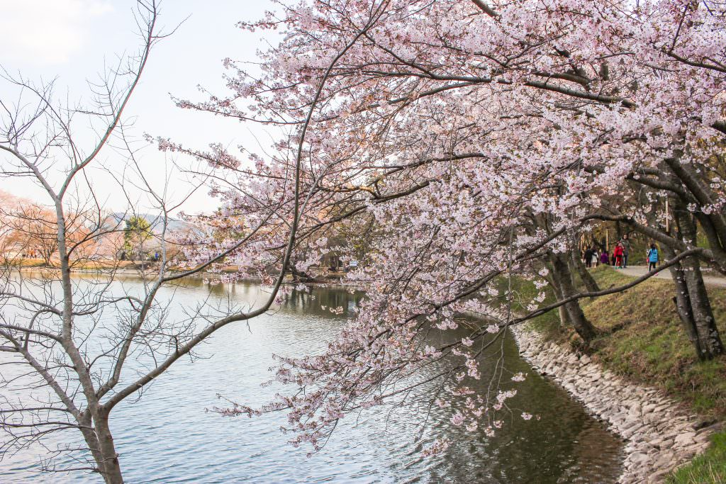 Cherry blossom on a tree in a park in Jinhae